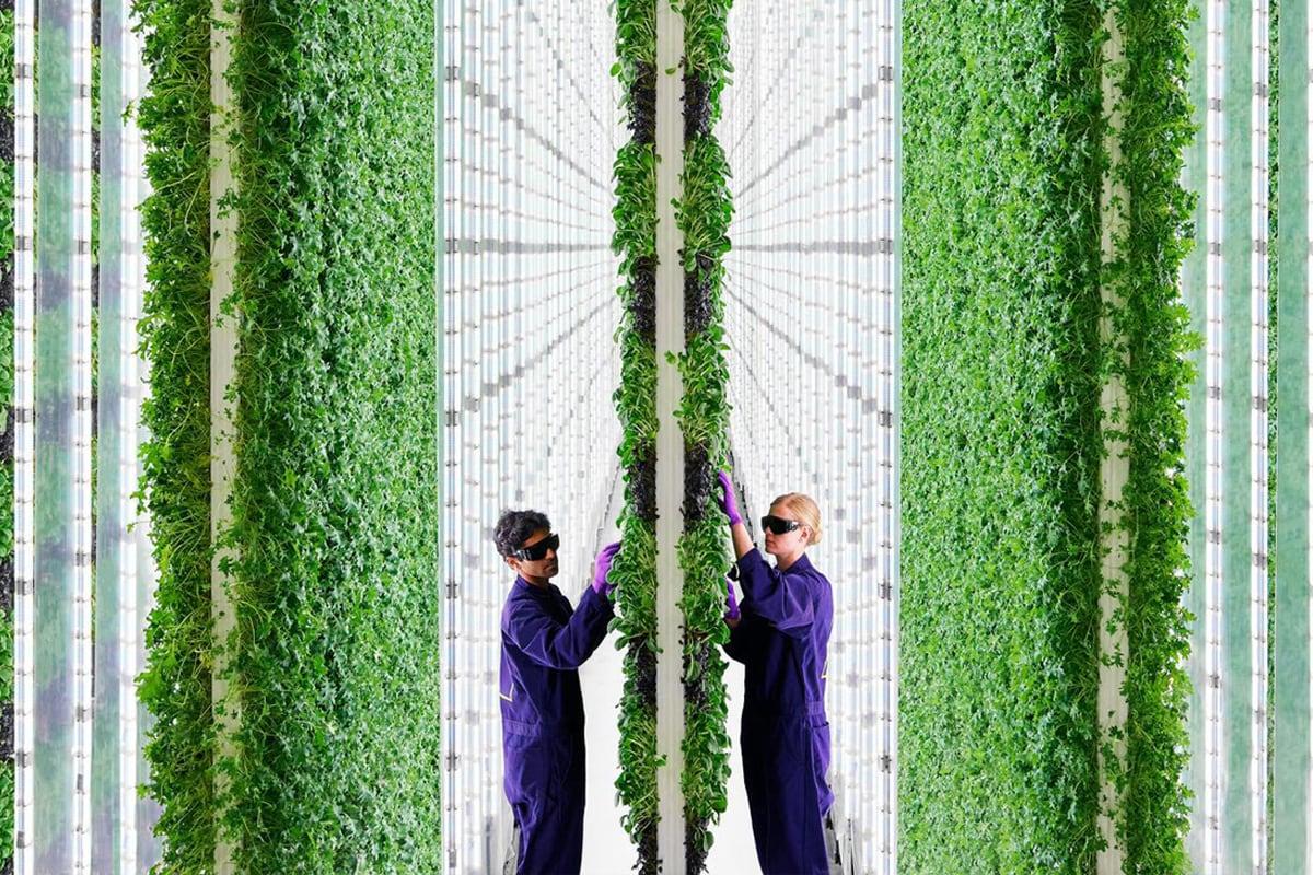L'agricoltura verticale per coltivare sempre e ovunque: da Dubai a San Francisco, a Milano