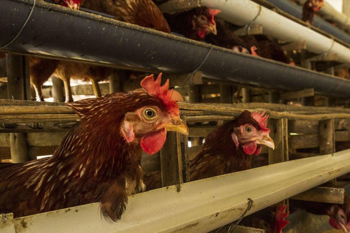 Aviaria, Sars, Mers, H1N1, Covid-19: ecco perché tutte le epidemie più pericolose sono nate negli allevamenti