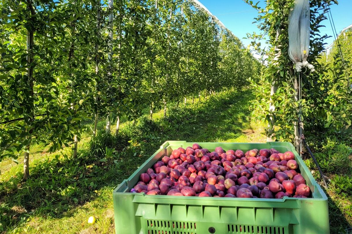 Ecco perché dovresti andare in Val di Non per il raccolto delle mele, almeno una volta nella vita!